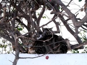 Gatos en Grecia-Mikonos