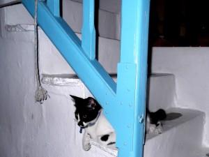 Gato en Mikonos-Grecia