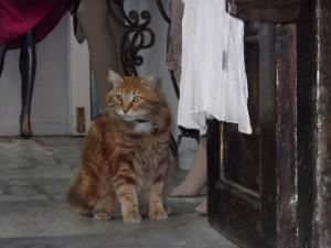 Gato en la tienda en Atenas-Grecia.