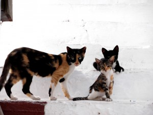 Gatos en Santorini Grecia